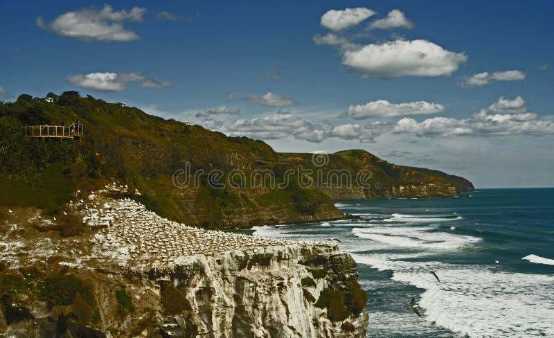 Nieuw-Zeeland, kolonie van Gannet op het strand van Murawai royalty-vrije stock foto's