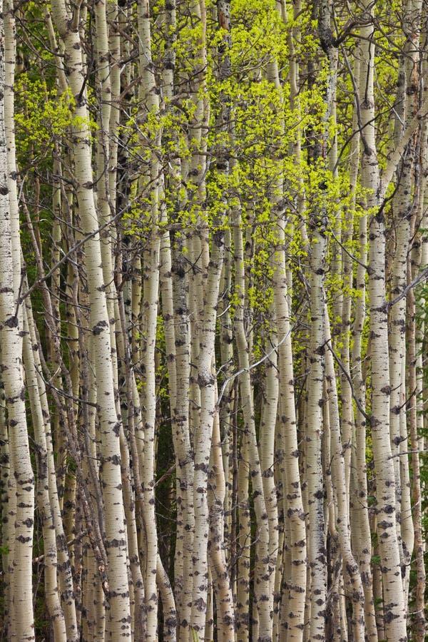 Nieuwe bladeren op espbomen in de lente stock foto