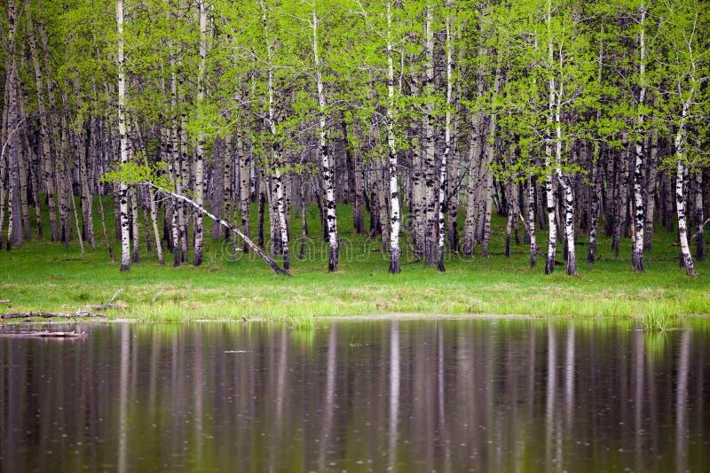 Nieuwe bladeren op espbomen in de lente royalty-vrije stock afbeelding