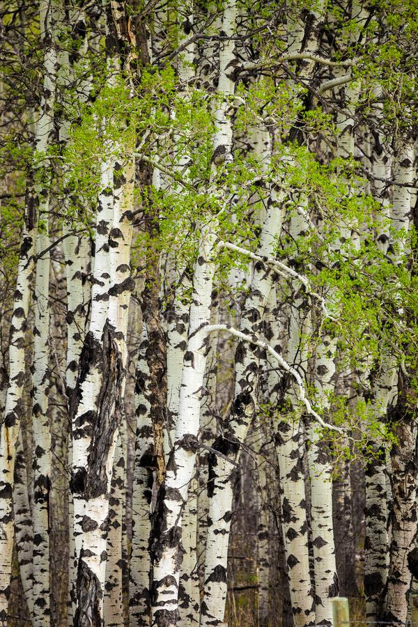 Nieuwe bladeren op espbomen in de lente stock afbeeldingen