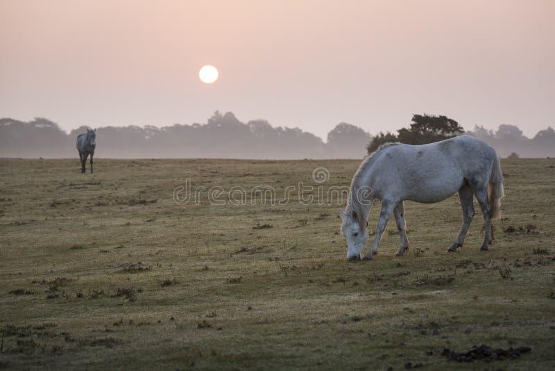 Nieuwe Bos nevelige scène met witte poneys die bij dageraad voeden royalty-vrije stock afbeeldingen