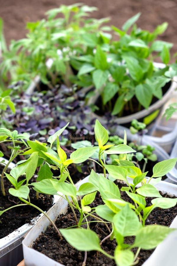 Nieuwe jonge zaailingen van verschillende installaties klaar voor het planten in de grond stock afbeeldingen