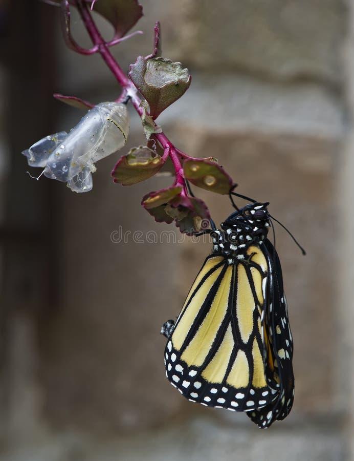 Nieuwe Monarch royalty-vrije stock fotografie