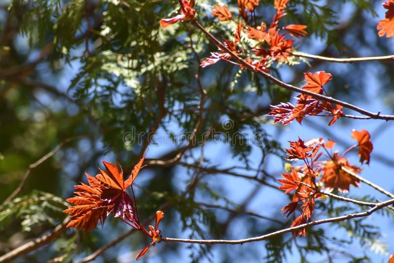 Nieuwe Rode Esdoornbladeren die uit in de Vroege Lente ontluiken royalty-vrije stock afbeeldingen