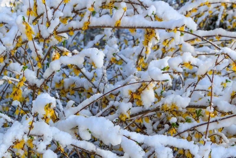Nieuwe Sneeuw op Forsythiabloei royalty-vrije stock foto's