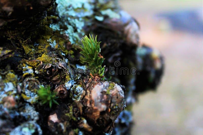 Nieuwe twijg macropijnboom royalty-vrije stock foto
