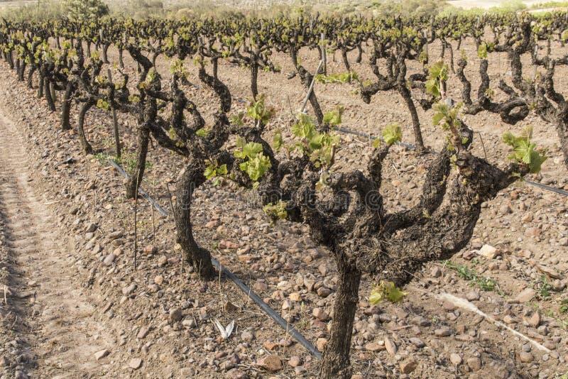 Nieuwe wijnstokbladeren stock afbeelding