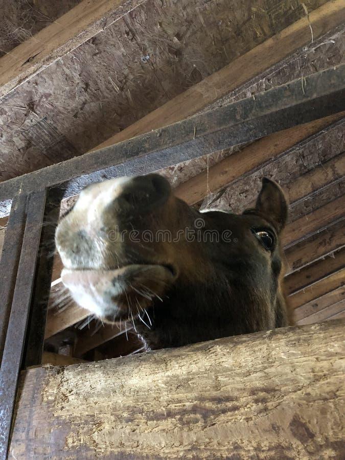 Nieuwsgierig Arabisch Paard stock afbeelding
