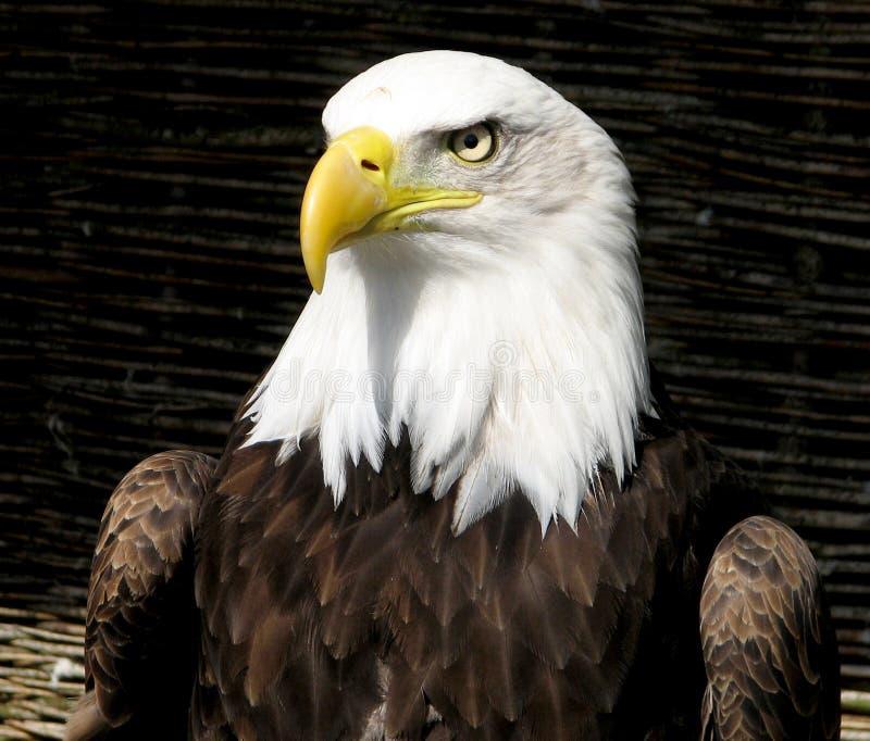 Nieuwsgierig Eagle royalty-vrije stock afbeeldingen