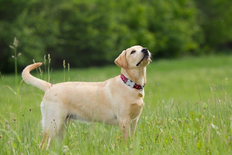 Nieuwsgierig labrador retriever stock afbeelding