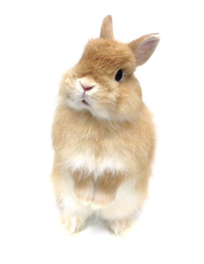 Nieuwsgierig pluizig die konijn op witte achtergrond wordt geïsoleerd royalty-vrije stock foto