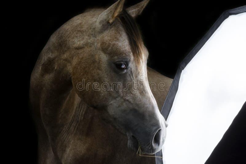 Nieuwsgierig Rasecht Arabisch paard stock afbeeldingen