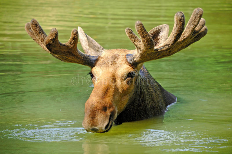 Nieuwsgierige Amerikaanse elanden royalty-vrije stock foto