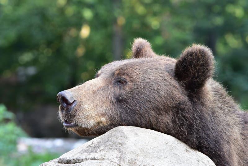 Nieuwsgierige beer-Ursus arctosberingianus royalty-vrije stock fotografie