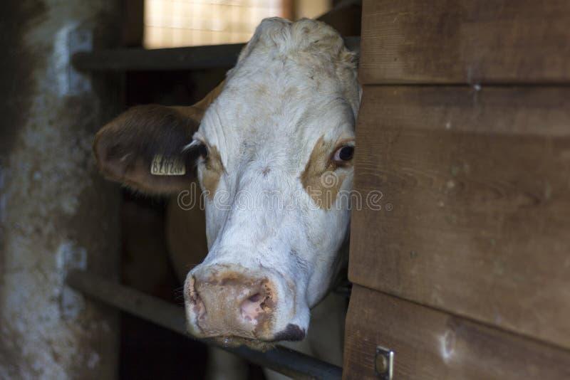 Nieuwsgierige Braunvieh-koe die achter een houten deur staren stock fotografie