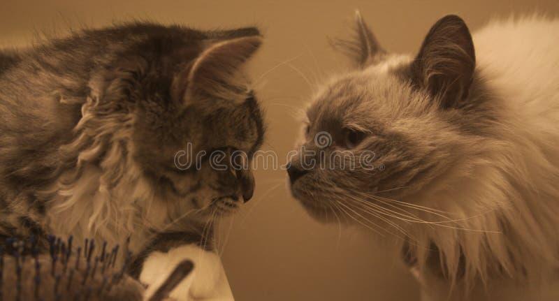 Nieuwsgierige Cat Brothers stock foto's