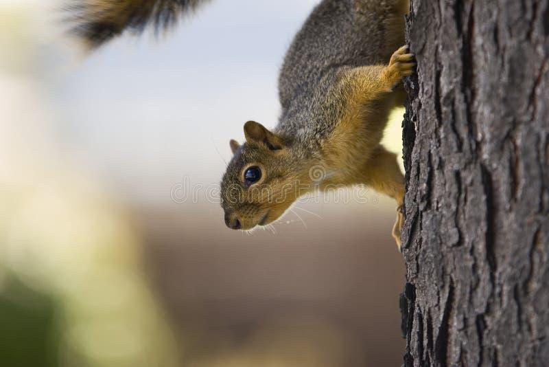 Download Nieuwsgierige eekhoorn stock foto. Afbeelding bestaande uit outdoors - 295108
