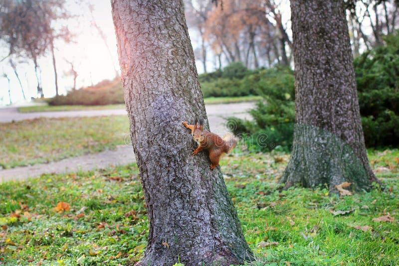 Nieuwsgierige Eekhoorn Rode Eekhoorn Eekhoorn De herfst De winter Bos stock foto