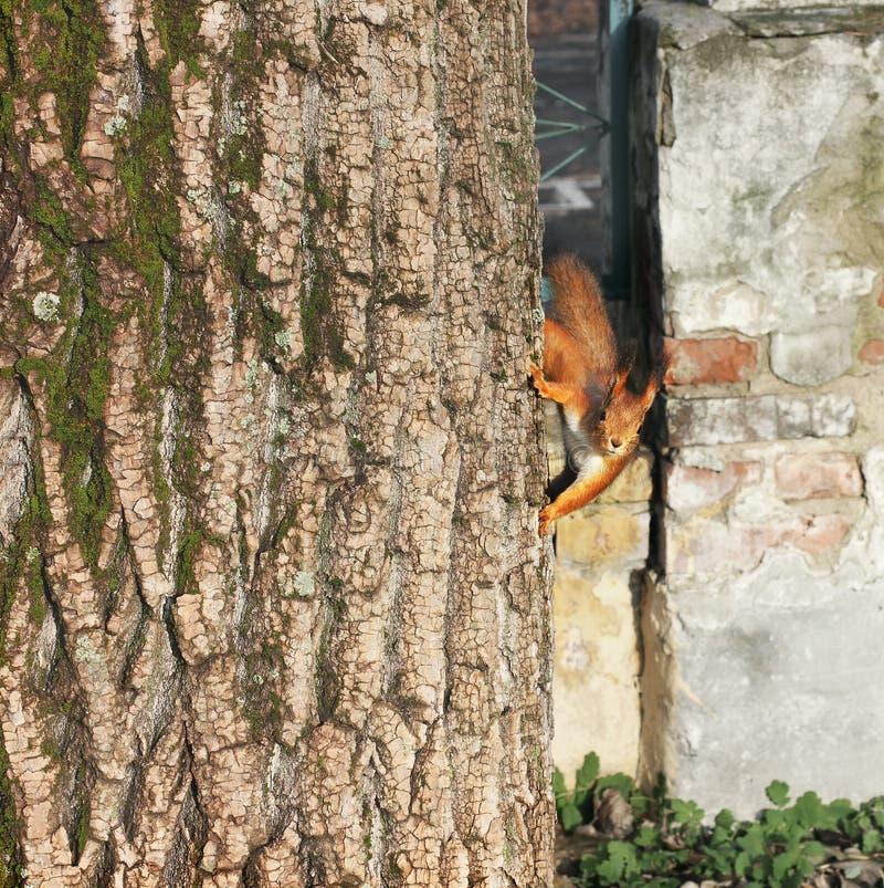 Nieuwsgierige Eekhoorn Rode Eekhoorn Eekhoorn De herfst De winter Bos stock foto's
