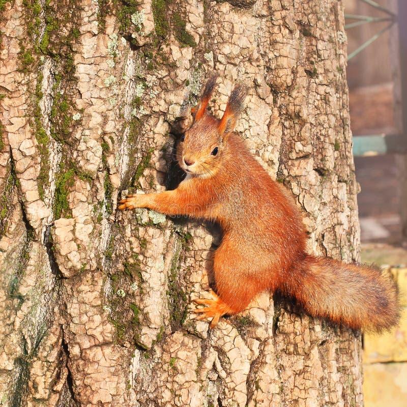 Nieuwsgierige Eekhoorn Rode Eekhoorn Eekhoorn De herfst De winter Bos royalty-vrije stock foto's