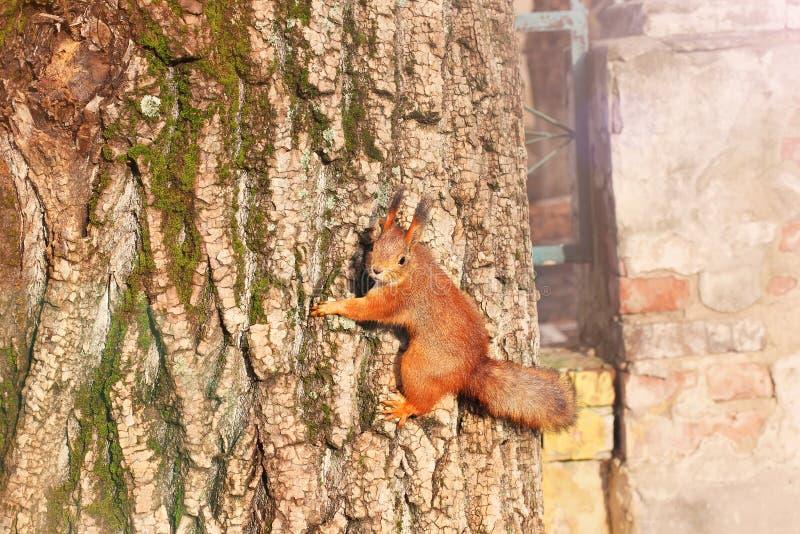 Nieuwsgierige Eekhoorn Rode Eekhoorn Eekhoorn De herfst De winter Bos royalty-vrije stock afbeeldingen