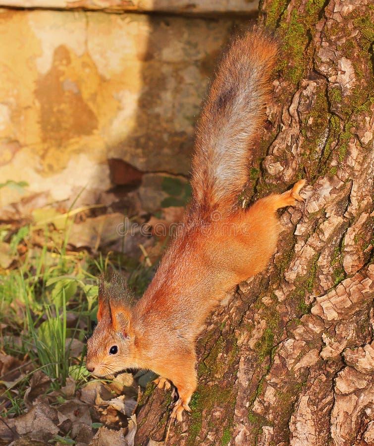 Nieuwsgierige Eekhoorn Rode Eekhoorn Eekhoorn De herfst De winter Bos royalty-vrije stock fotografie