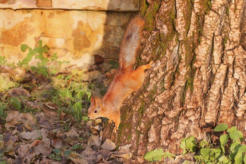 Nieuwsgierige Eekhoorn Rode Eekhoorn Eekhoorn De herfst De winter Bos stock fotografie