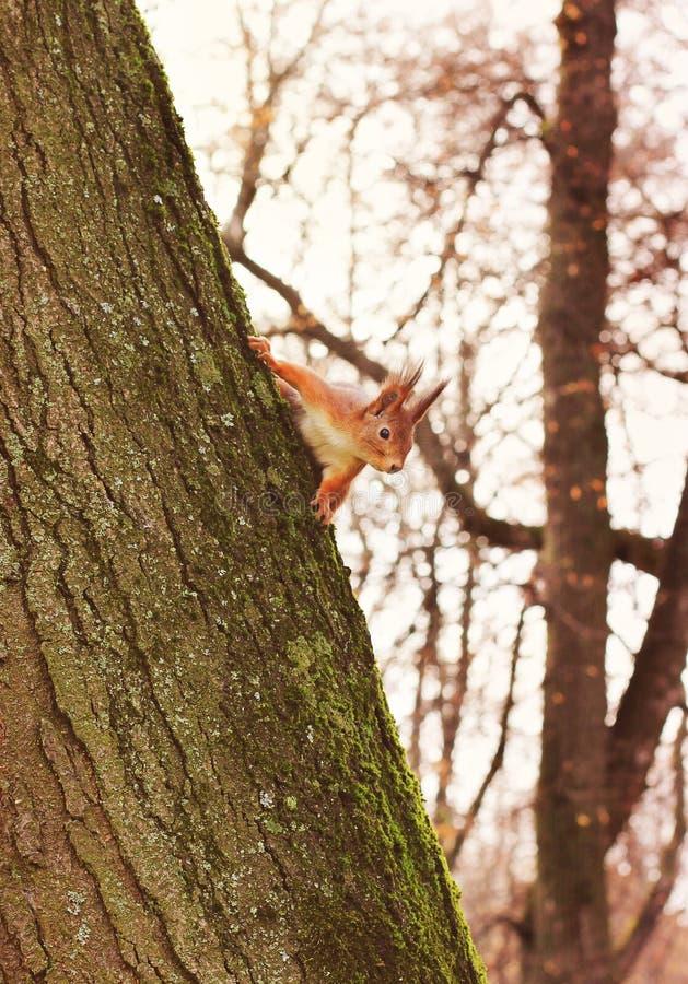 Nieuwsgierige Eekhoorn Rode Eekhoorn Eekhoorn De herfst De winter Bos stock afbeelding