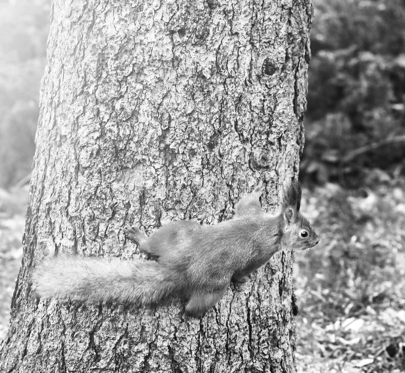 Nieuwsgierige Eekhoorn Rode Eekhoorn Eekhoorn De herfst De winter De boslente dieren E stock foto's