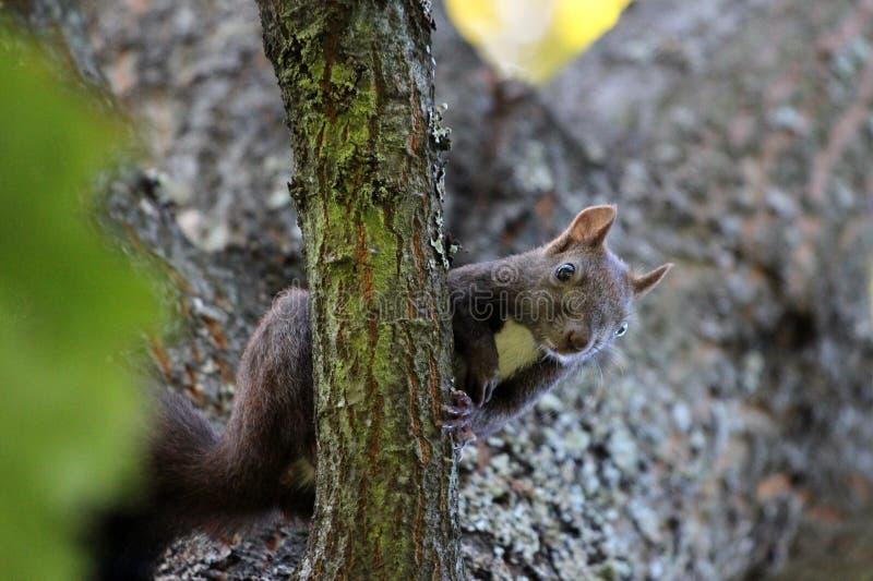 Nieuwsgierige eekhoornzitting calmly op boomtak en het bekijken camera in lokaal park royalty-vrije stock foto's