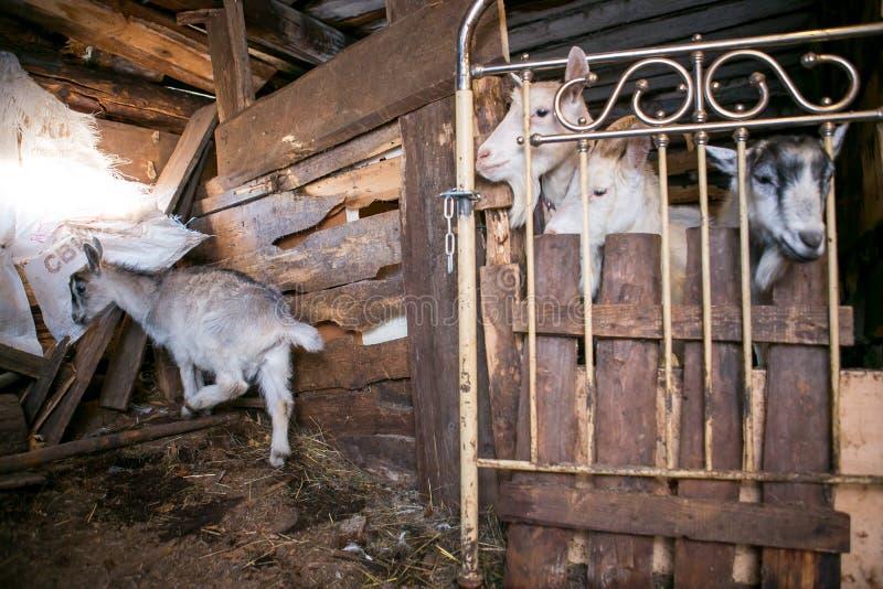 Nieuwsgierige geiten in een koeiestal stock fotografie