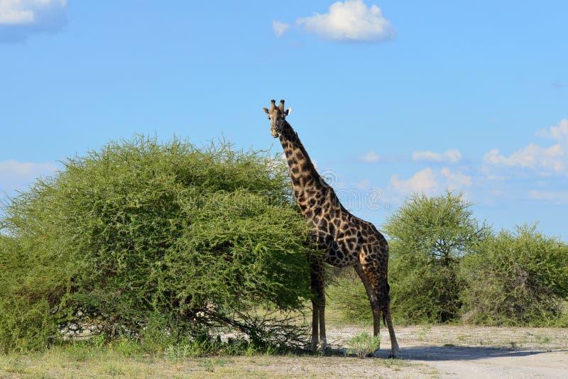 Nieuwsgierige giraf stock fotografie