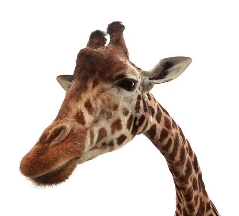 Nieuwsgierige grappige giraf stock afbeeldingen