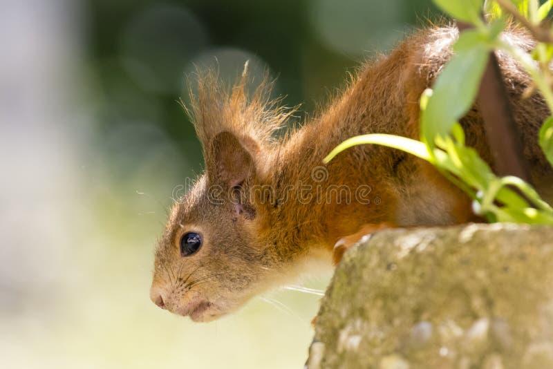 Nieuwsgierige Jonge Europees-Aziatische rode vulgaris eekhoorn/Sciurus royalty-vrije stock fotografie