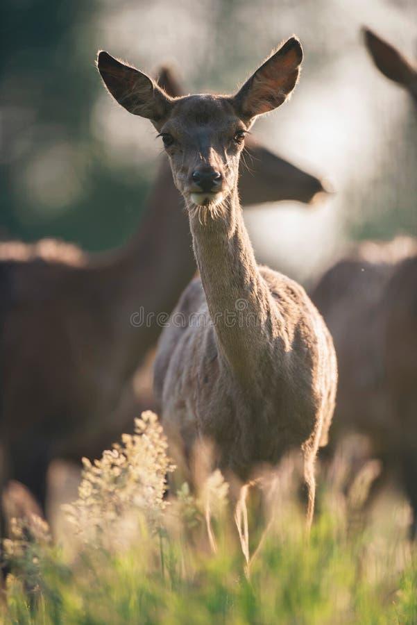 Nieuwsgierige jonge rode herten tussen gras die naar camera kijken stock afbeeldingen
