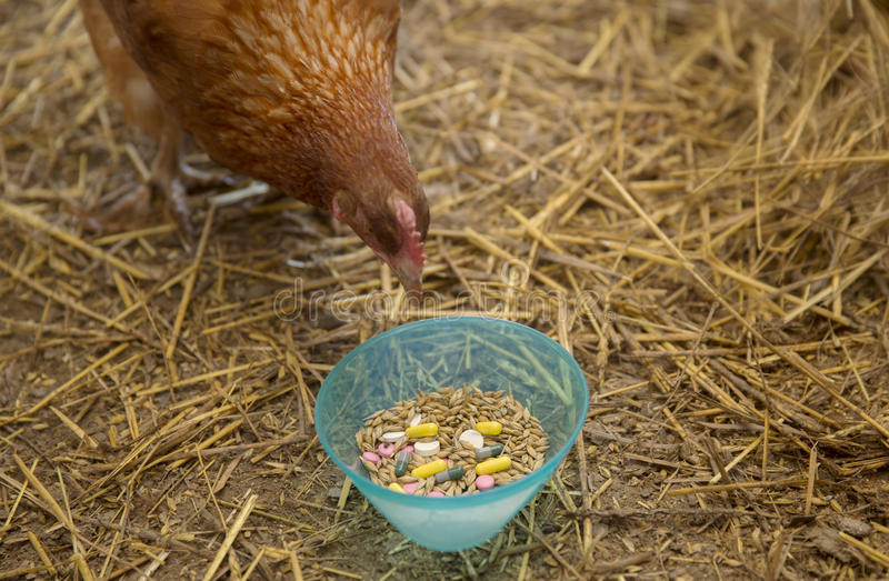 Nieuwsgierige Kip en Pillen stock afbeelding
