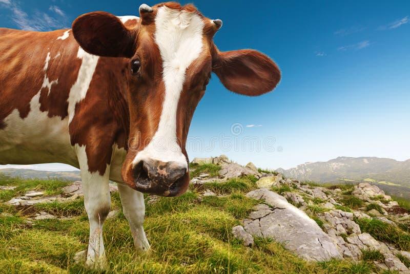 Nieuwsgierige koe stock afbeeldingen