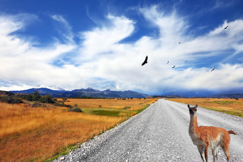 Nieuwsgierige lama die op de weg letten stock fotografie