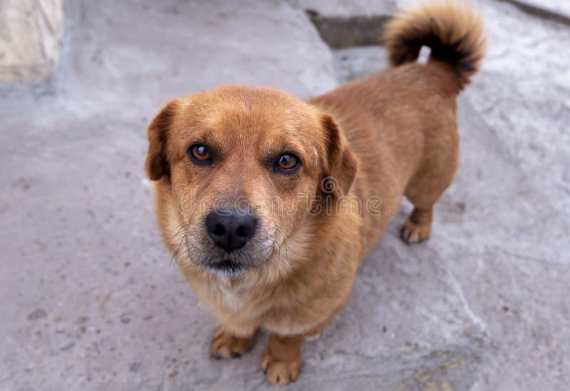 Nieuwsgierige landbouwbedrijfhond met kort bruin haar en zwarte neus die omhoog eruit zien royalty-vrije stock foto