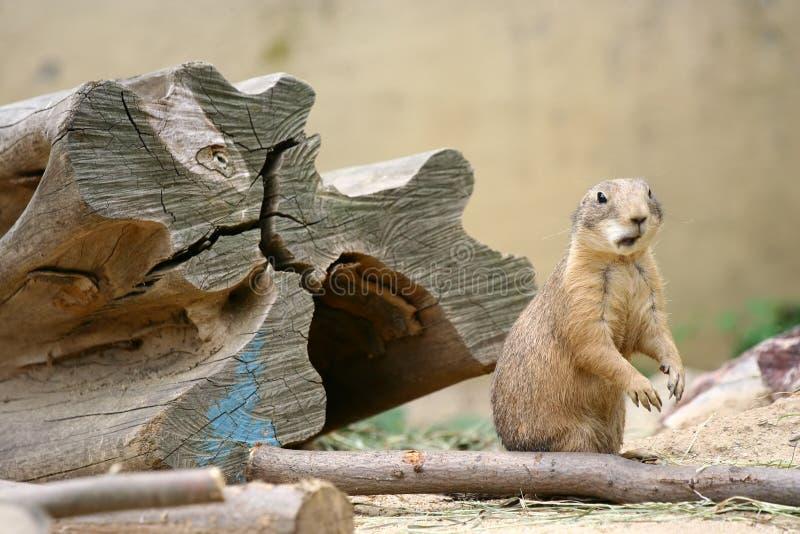 Nieuwsgierige marmot stock afbeeldingen