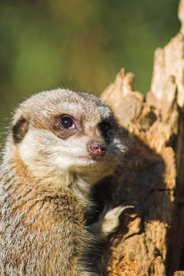 Nieuwsgierige Meerkat royalty-vrije stock foto's