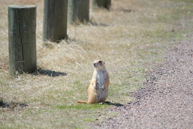 Nieuwsgierige prairiehond stock fotografie