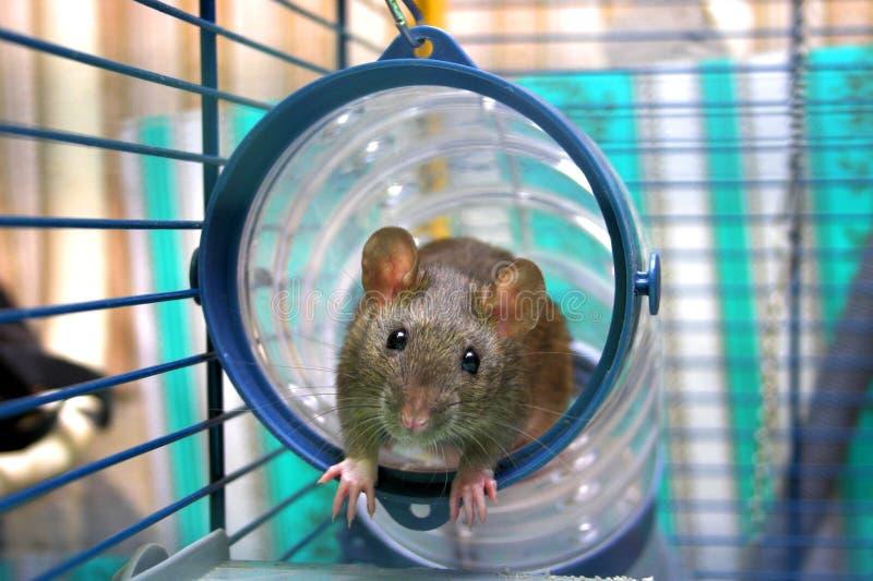 Nieuwsgierige rat stock afbeelding