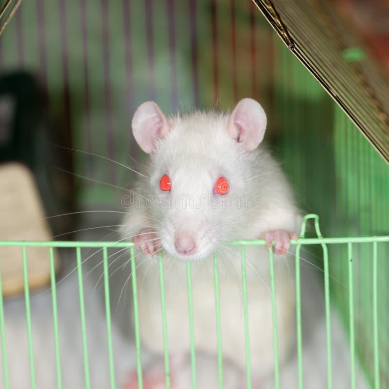 Download Nieuwsgierige rat stock foto. Afbeelding bestaande uit binnenlands - 29502312