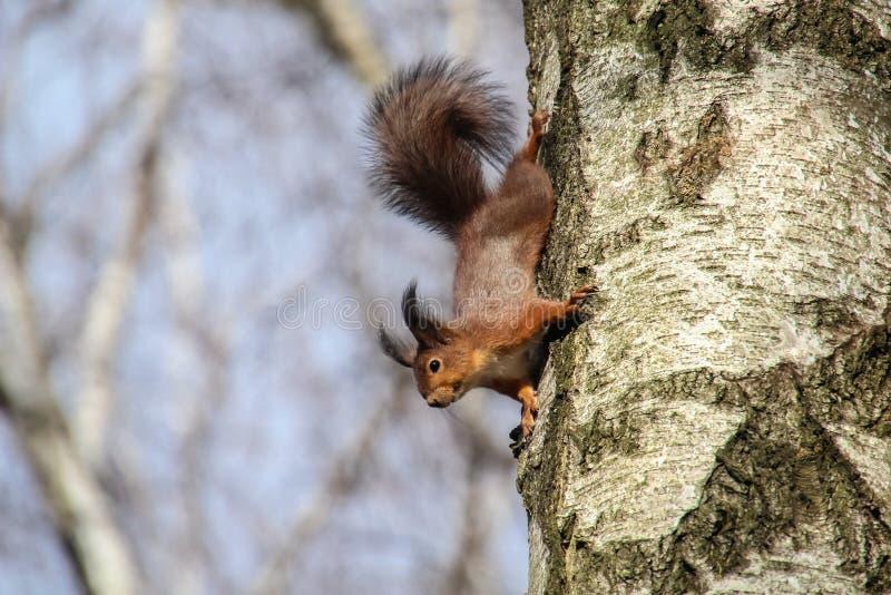 Nieuwsgierige rode eekhoorn bij boomboomstam neer het hangen, vulgaris Sciurus royalty-vrije stock afbeeldingen