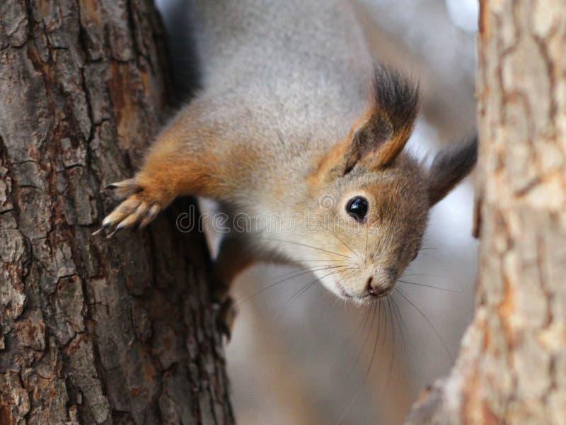 Nieuwsgierige rode eekhoorn die achter de boomboomstam gluren stock foto