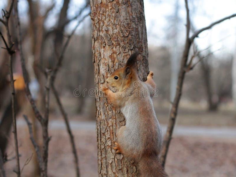 Nieuwsgierige rode eekhoorn die achter de boomboomstam gluren stock afbeelding