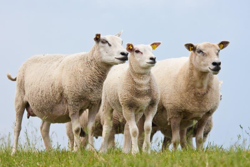 Nieuwsgierige schapen royalty-vrije stock foto