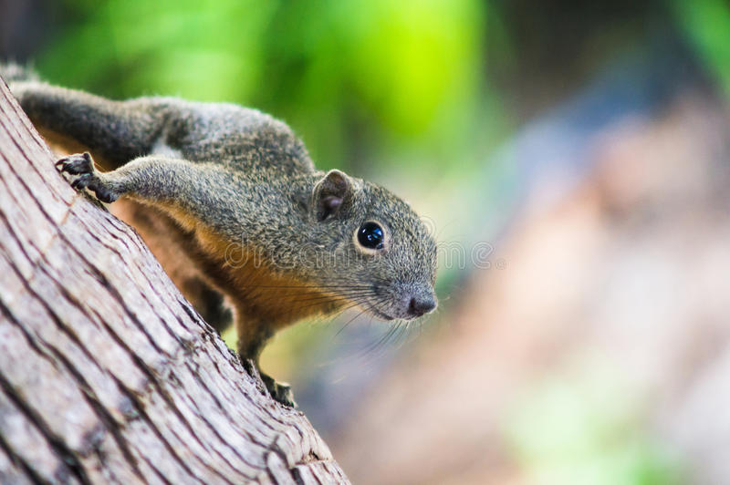 Nieuwsgierige Slanke eekhoornzitting op een boom, Maleisië stock foto's