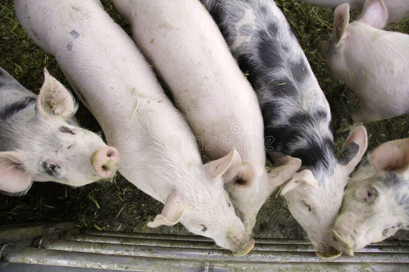 Nieuwsgierige varkens royalty-vrije stock foto's